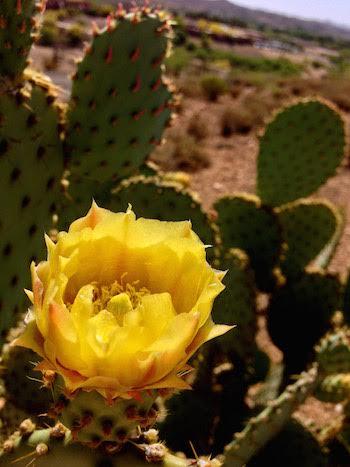 yellow cholla flower